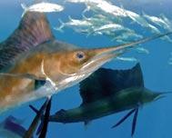Hemingway International Billfishing Tournament 2015