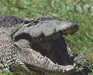 Boca de Guamá, Protecting the Cuban Crocodile