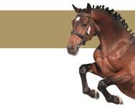 Show Jumping Horses in Cuba