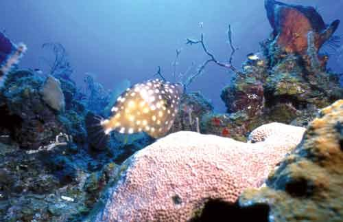 Cuban Coral Reefs and the Great White Threat