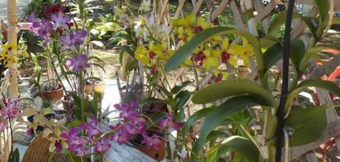 Orchids in the very heart of Havana
