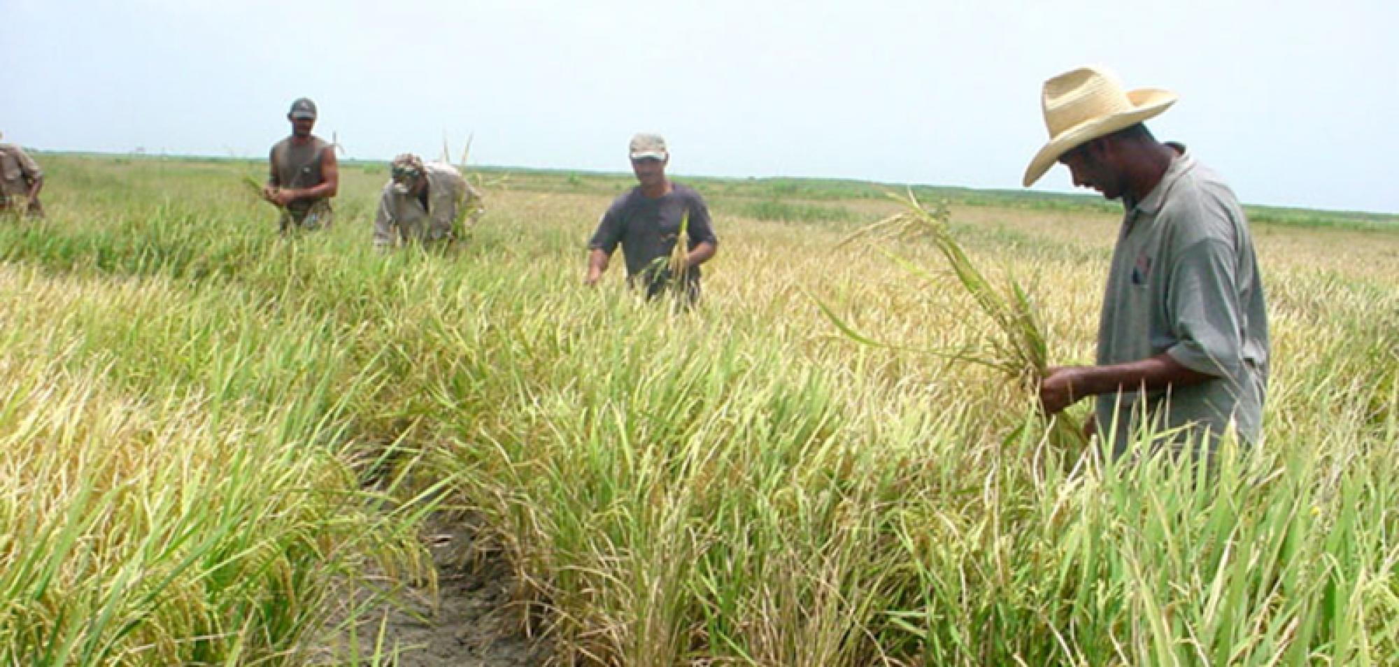 Cuba Hopes to Produce over 311,000 Tones of Rice in 2019